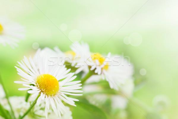 Gänseblümchen frischen Wildblumen Frühling Sommer Stock foto © mythja