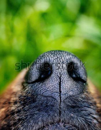 Dog snout Stock photo © mythja