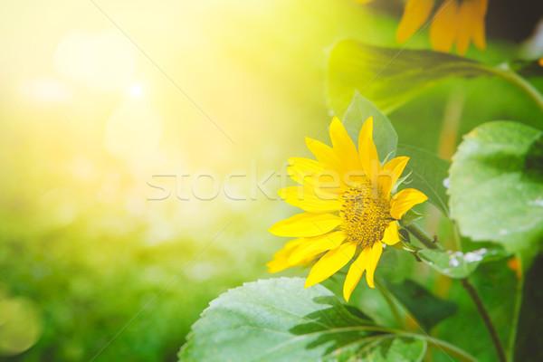 подсолнечника лет цветочный Летние цветы цветок весны Сток-фото © mythja