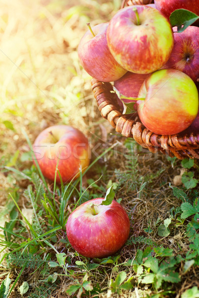 Organic apples in summer grass Stock photo © mythja