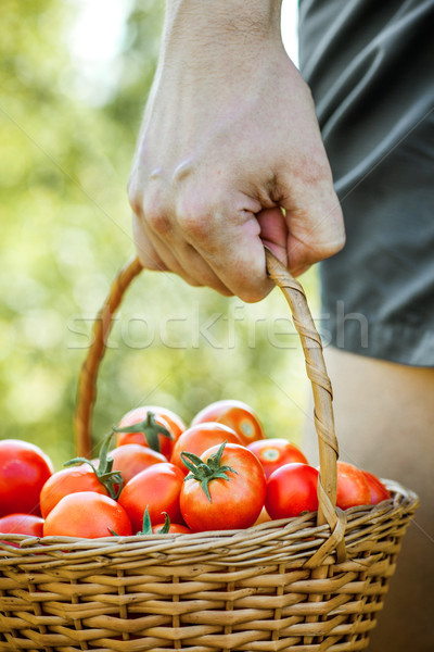 Tomato harvest in summer Stock photo © mythja