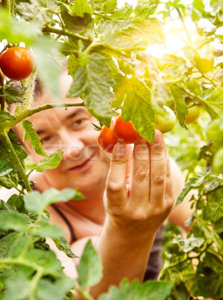 Paradicsom aratás nyár zöldség kert kertész Stock fotó © mythja