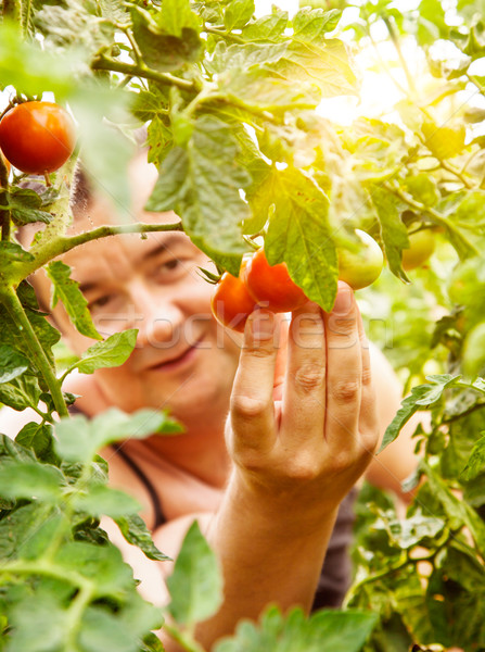 Tomates colheita verão vegetal jardim jardineiro Foto stock © mythja