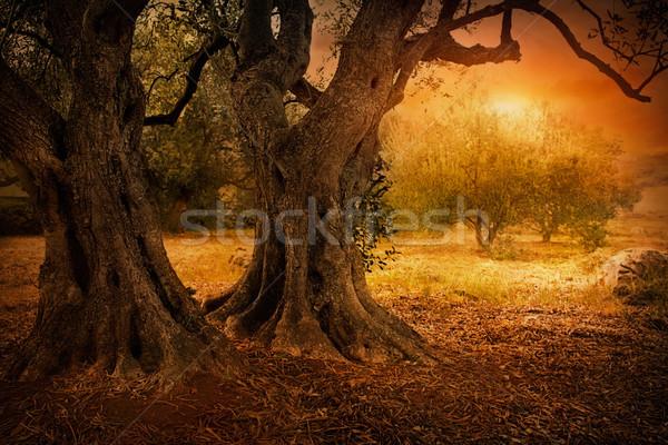 Old olive tree Stock photo © mythja