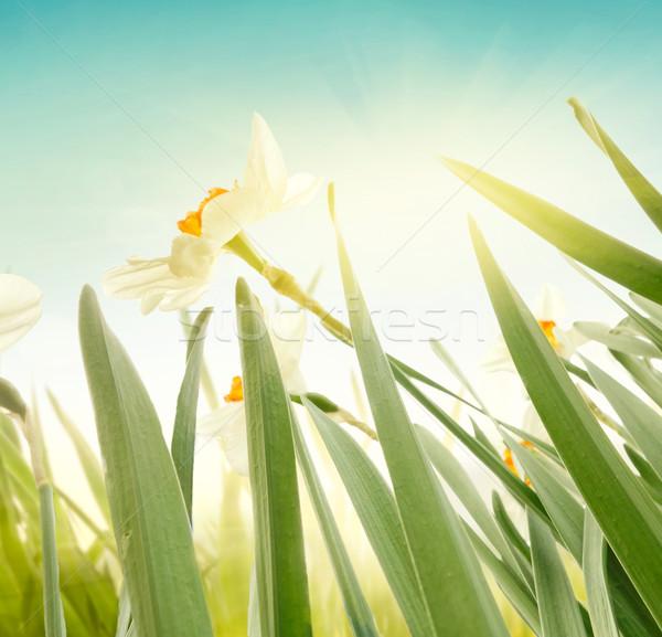 Nergis bahar Paskalya bahar çiçekleri zarif Stok fotoğraf © mythja