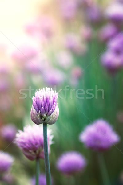 Snidling virágok tavasz friss virág színes Stock fotó © mythja