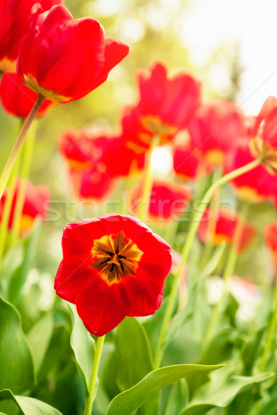 Red tulip Stock photo © mythja