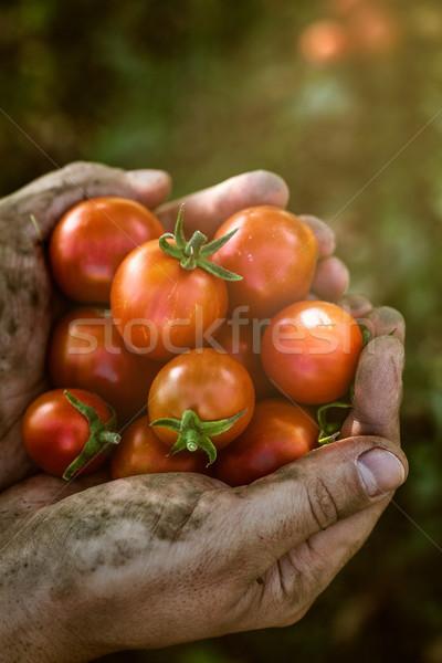 Tomate cosecha otono manos Foto stock © mythja