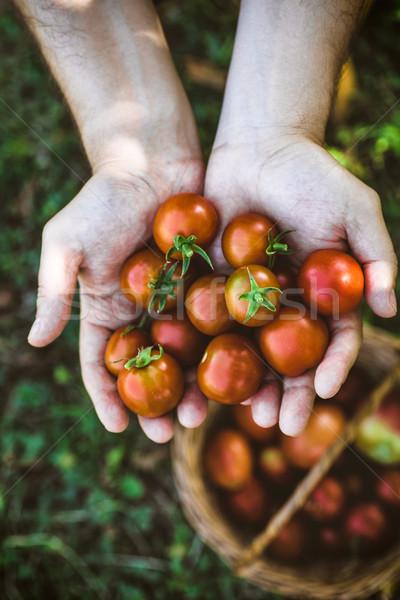 Pomodoro raccolto mani alimentare Foto d'archivio © mythja