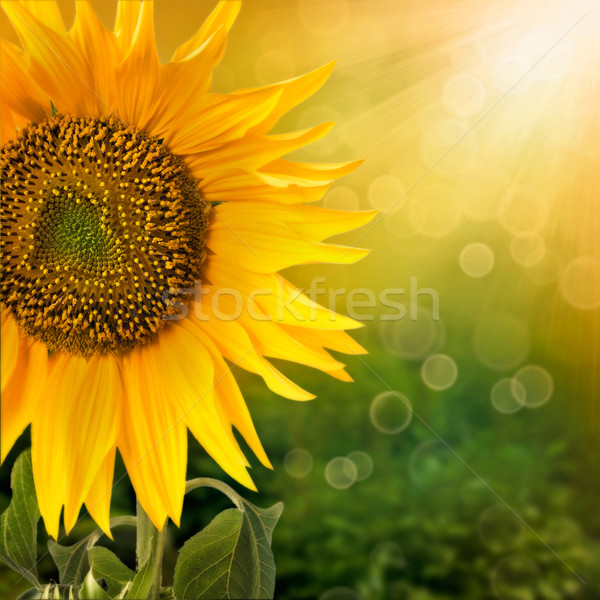 Sunflower background Stock photo © mythja