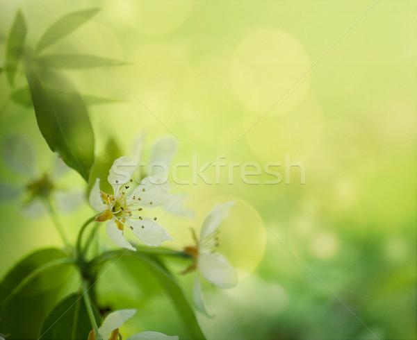 Apple blossom Stock photo © mythja