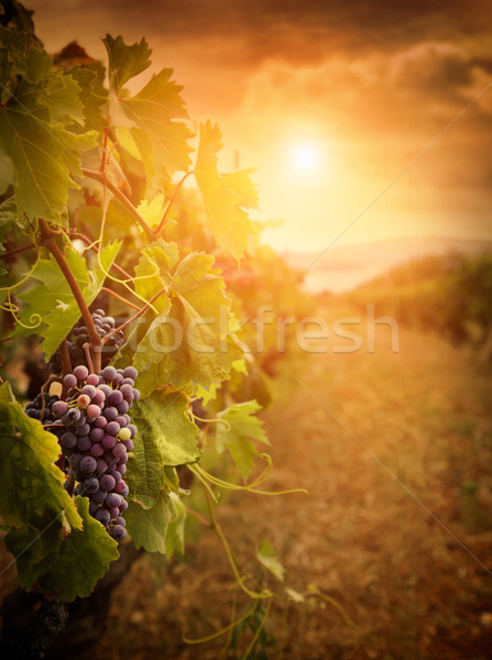 Vineyard in autumn harvest Stock photo © mythja