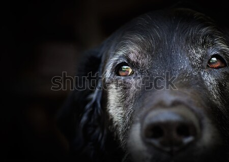 Vecchio labrador retriever animale cane macro shot Foto d'archivio © mythja