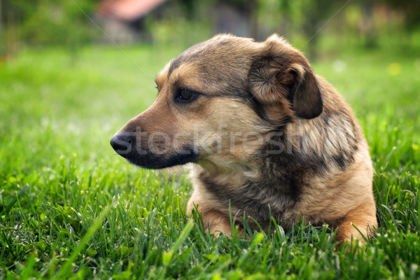 Hond tuin cute weinig ras Stockfoto © mythja