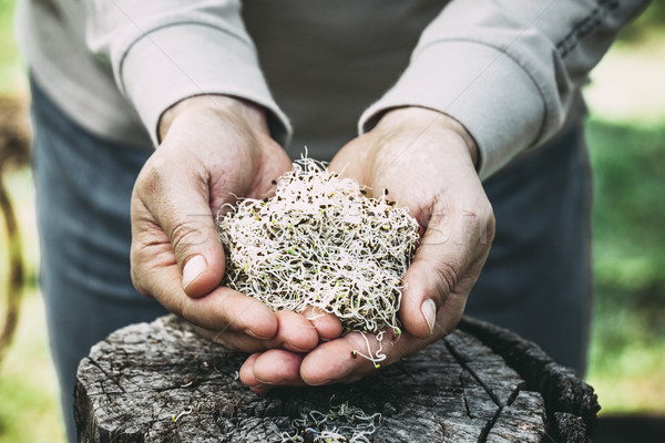 Alfalfa sprouts in hands Stock photo © mythja
