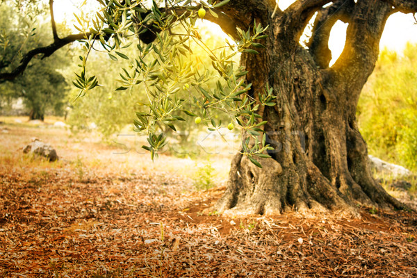 Old olive tree Stock photo © mythja