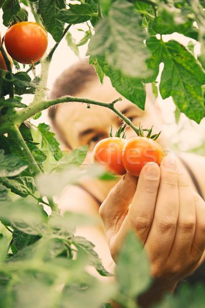 Tomato harvest Stock photo © mythja