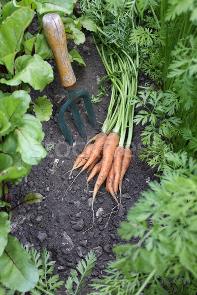 First Crop of Carrots Stock photo © naffarts