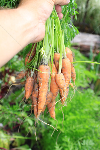 Bunch of Carrots Stock photo © naffarts