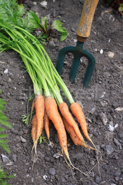 Fresh Carrots Stock photo © naffarts