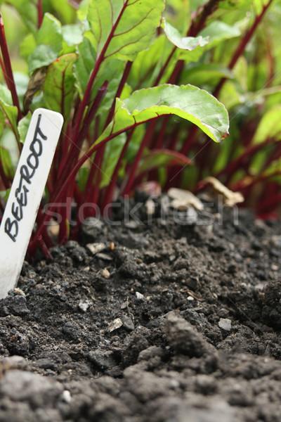 ストックフォト: ビートの根 · ラベル · 低い · ショット · 庭園 · タグ