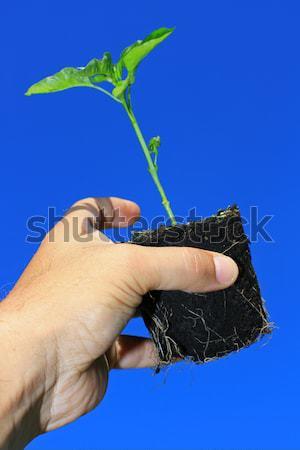 Első termény cékla fiatal föld szett Stock fotó © naffarts
