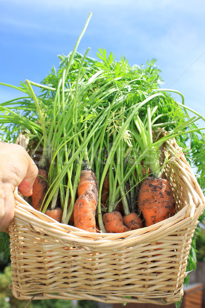 Basket of Organic Carrots Stock photo © naffarts