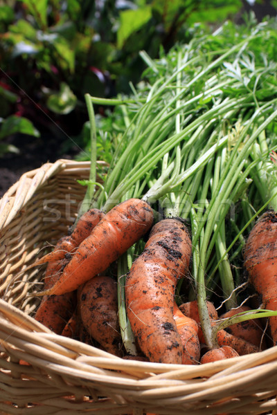 Fresh Carrots Stock photo © naffarts