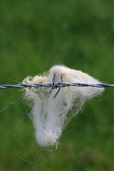 Sheeps Wool Stock photo © naffarts