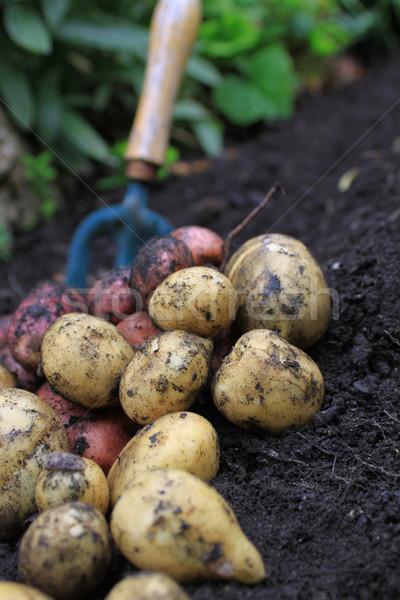 New Potatoes Stock photo © naffarts