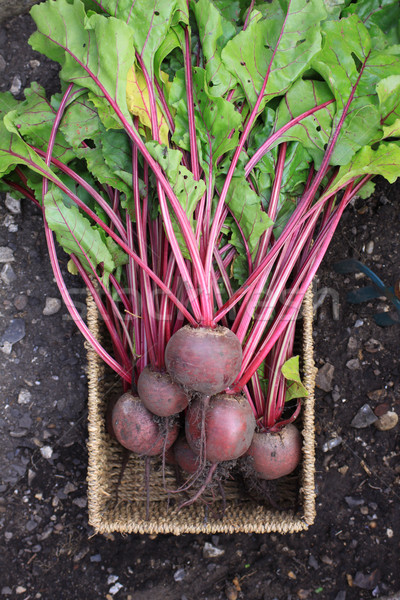 Stock photo: Beetroot Harvest