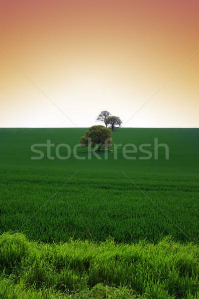 Wheat Field Stock photo © naffarts
