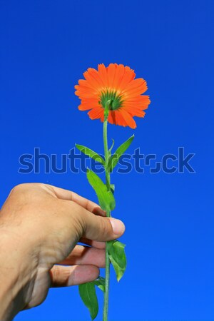Hand Held flower Stock photo © naffarts