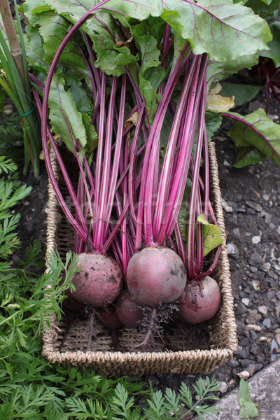 Fresh Beetroot Stock photo © naffarts
