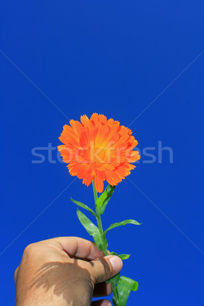 Flower in the hand Stock photo © naffarts