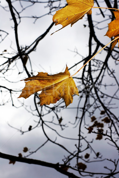 Last Autumn leaves Stock photo © naffarts