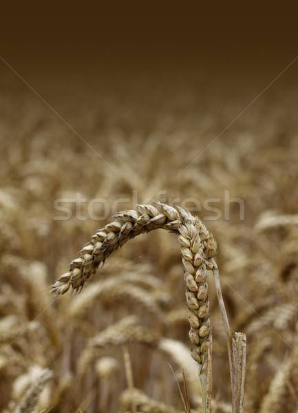 Wheat Stock photo © naffarts