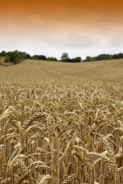 Golden Wheat Stock photo © naffarts