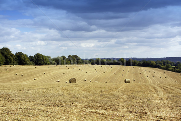 Summer Harvest Stock photo © naffarts