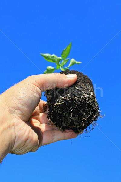 Facsemete gyökerek fiatal palánta kéz mutat Stock fotó © naffarts