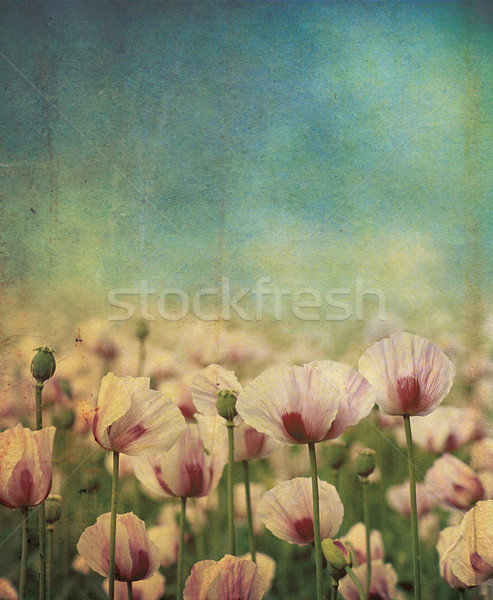 Purple Poppie Grunge Stock photo © naffarts