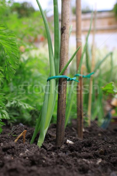 Organic Onion Stock photo © naffarts
