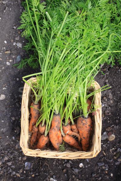 Zanahoria cosecha crecido zanahorias Foto stock © naffarts