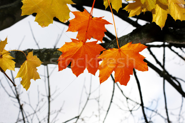Autumnal Leaves Stock photo © naffarts