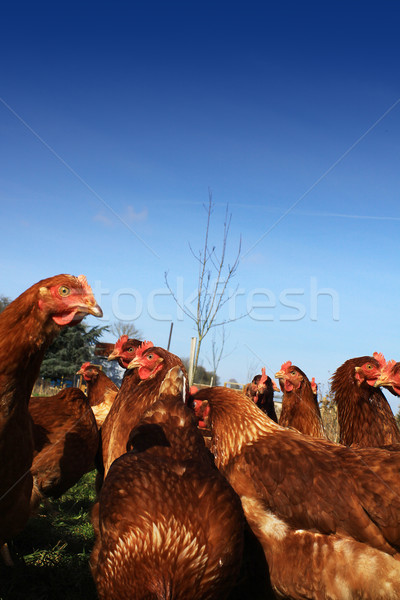 Brown Hens 3 Stock photo © naffarts