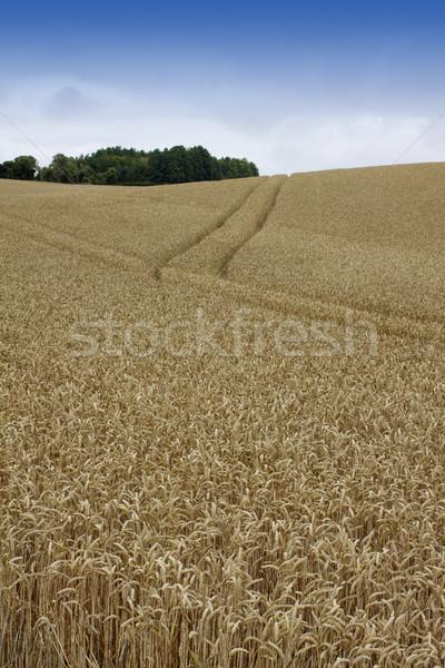 Rolling Wheat Field Stock photo © naffarts
