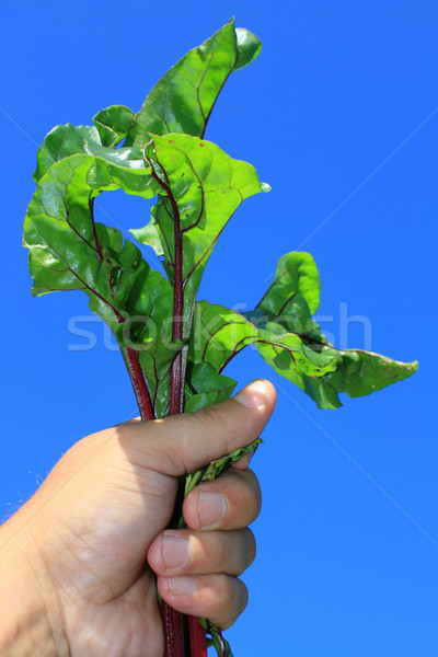 Stock photo: Beatroot Leaves