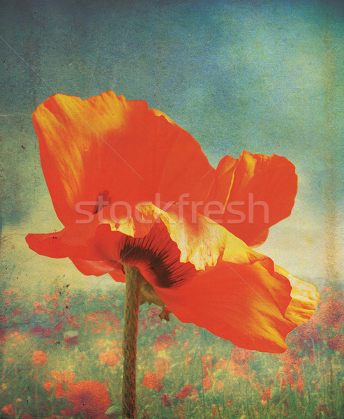 Poppie Grunge Stock photo © naffarts