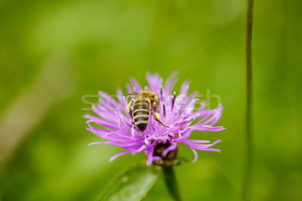 Honeybee on Alpine Meadow Stock photo © nailiaschwarz
