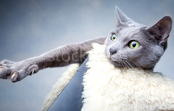Stock fotó: Orosz · kék · macska · stúdió · portré · szemek